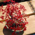 Cách làm cây bonsai bay Phong lá đỏ Nhật Bản đẹp mê ly!