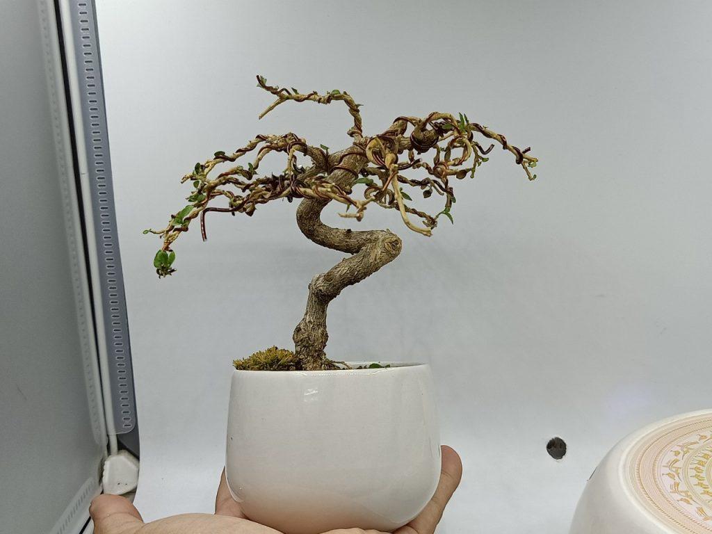 bonsaibayvietnamtet (185)