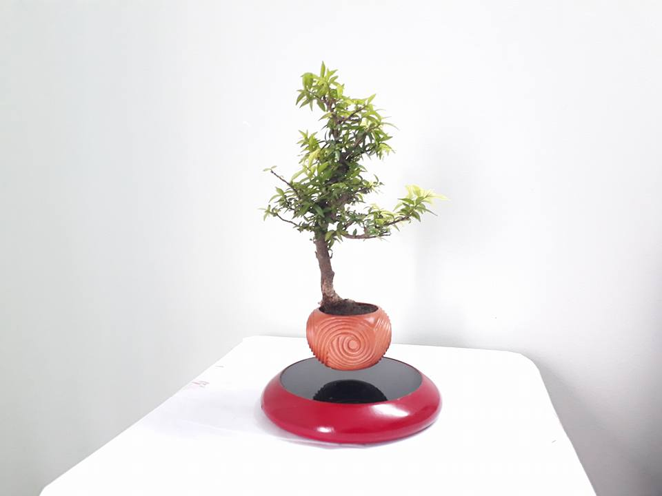 bonsai bay go mau son (2)