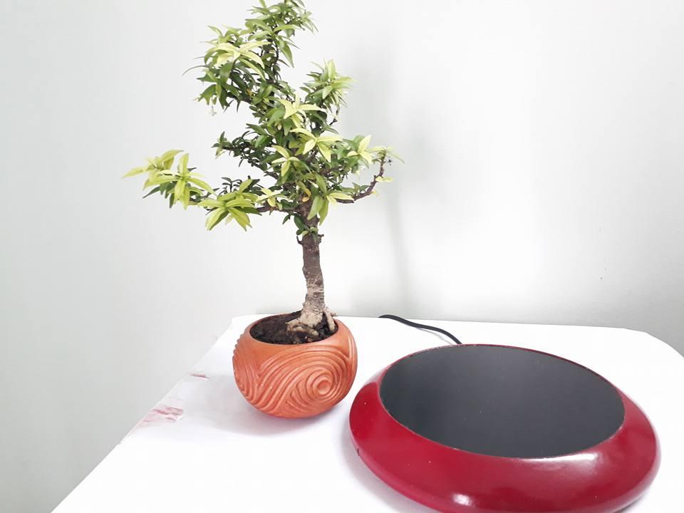 bonsai bay go mau son (5)
