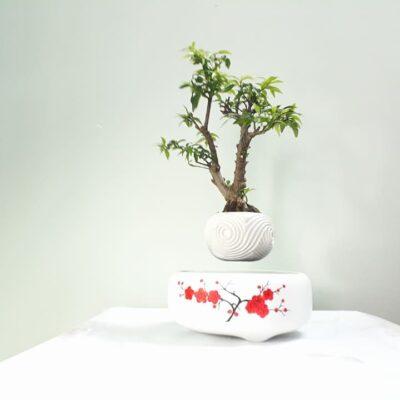 bonsai bay giá rẻ